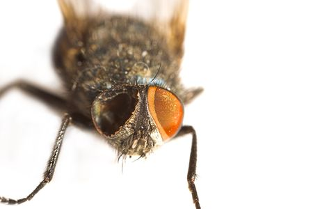 A macro photo of a one-eyed fly photo