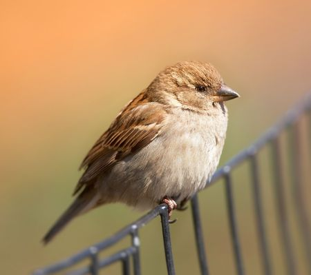 waiting glance: A photo of a sparrow an early, misty morning