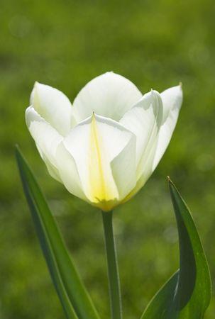 A photo of traditional white tulips in a Scandinavian garden in springtime Stock Photo - 966721