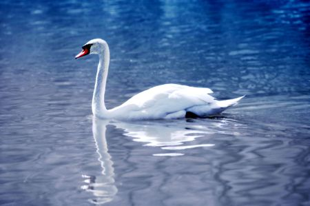 A telephoto of wonderful swan early morning photo