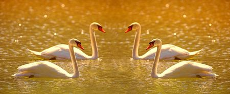 A telephoto of wonderful swans at sunset photo