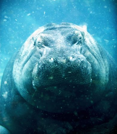An underwater photo of a sleeping hippopotamus (under water) photo