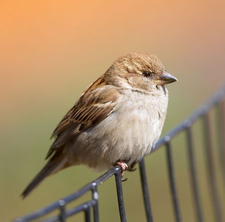 A telephoto of a sparrow at early sunset (Central Park) photo