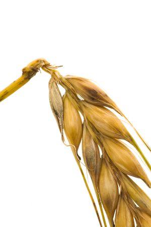 cropcircle: A close up photo of wheat