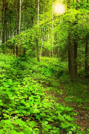 A photo early morning - Danish forest in late spring photo