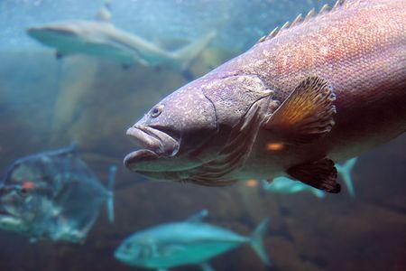 lanceolatus: A photo of a large tropical fish