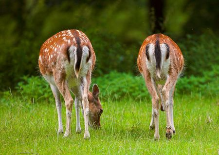 deer  spot: Deer in on a spot of grass in the forest - telephoto Stock Photo