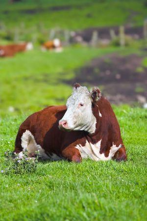A tele photo of a cow photo