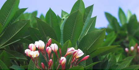A photo of Hawaiian tree flowers Stock Photo - 1356164