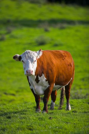 A telephoto of a typical Danish cow photo
