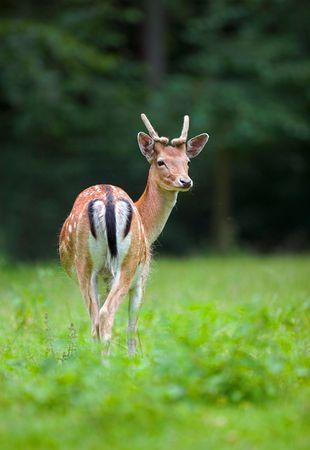 A teleophoto of beautiful doe photo