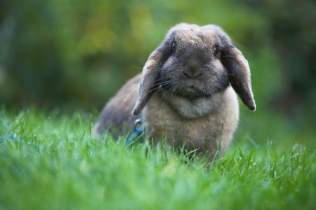 A telephoto of a domesticated rabbit photo