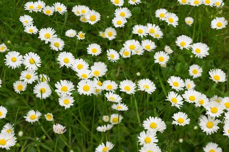 A close-up photo of white flowers in the lawn Stock Photo - 1943696
