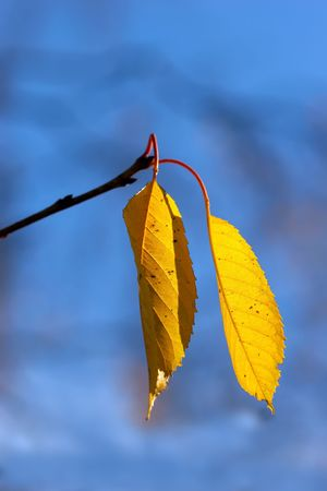 A photo of yellow leaves in late fall photo