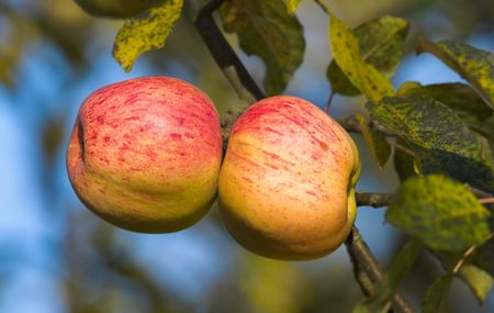 A photo of apples late autumn i Stock Photo - 2097152