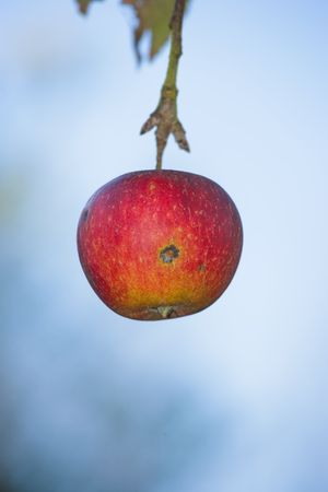 late fall: A photo of apples in late fall