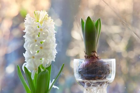 bell flower: A photo of hyacinth bulbs in the window