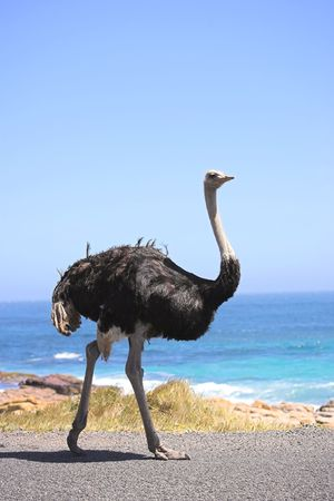 inquiring: A wild ostrich by the ocean in South Africa