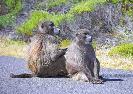 A photo of South African baboons sitting on the road Stock Photo - 2795808