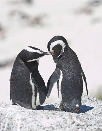 A photo of loving penguins photo