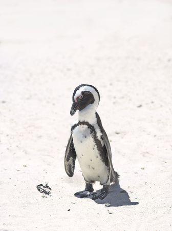 waddling: Penguin photo taken in South Africa