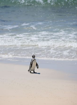 An African penguin taking a walk on the beach (South Africa) photo