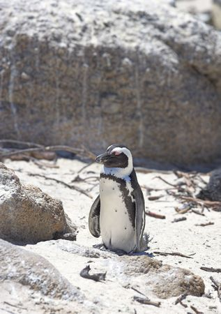 Small penguins in South Africa photo