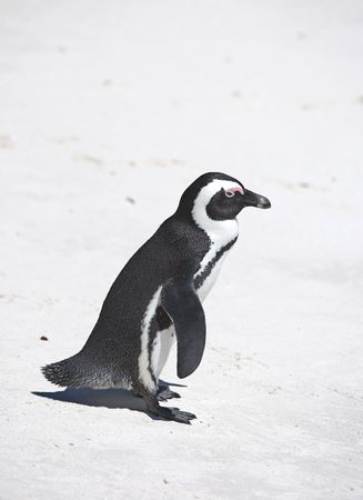 Penguin photo taken in South Africa photo