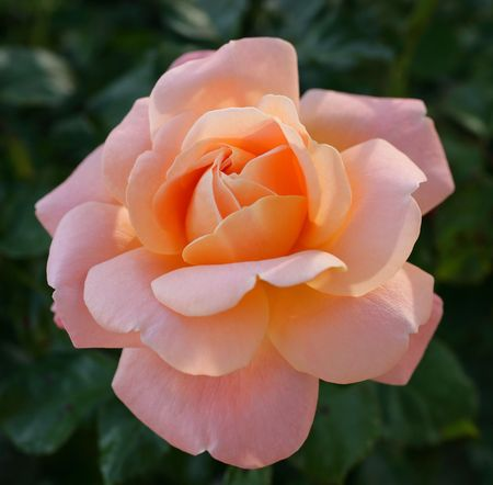 A photo of a beautiful rose Stock Photo - 2816175