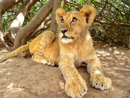 intimidating: A  lion in the shade