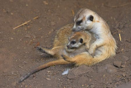 A photo of a mother ground squirrel with her  photo