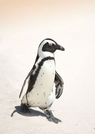 waddling: A young beautiful penguin in South Africa