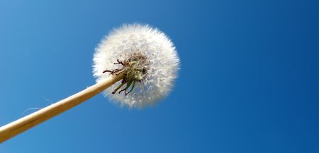 dandelion detail isolated on blue background Stock Photo - 3118538