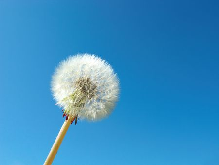 blow up: dandelion detail isolated on blue background