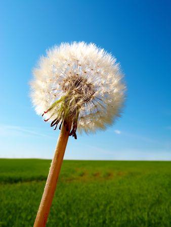 dandelion detail isolated on blue background photo