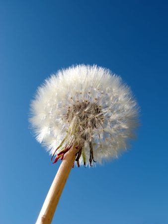 dandelion detail isolated on blue background Stock Photo - 3663255