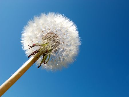 dandelion detail isolated on blue background Stock Photo - 4067464