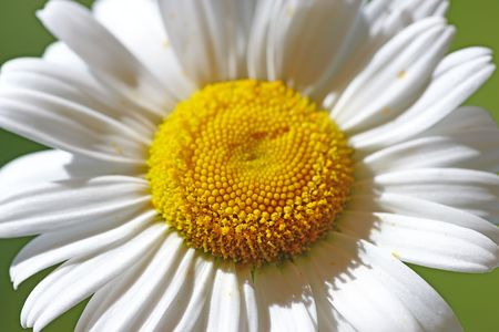 camomiles macro: A photo of the beautiful sunshine flower (camomile)