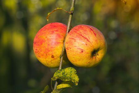A photo of apples late autumn i Stock Photo - 4760324