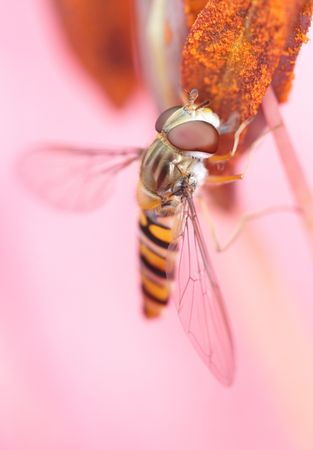 A close-up photo of an imitation bee on a pink flower photo