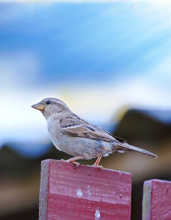 A telephoto of a sparrow sitting on a pole in sunshine photo
