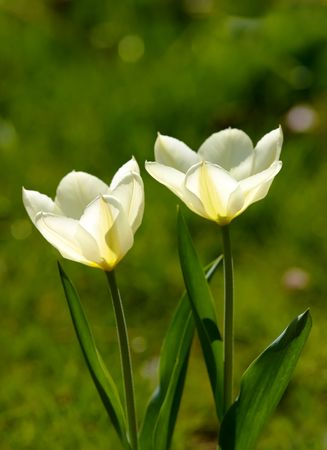 White tulips in natural light photo