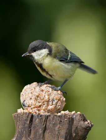 The Great Tit Stock Photo - 5195419