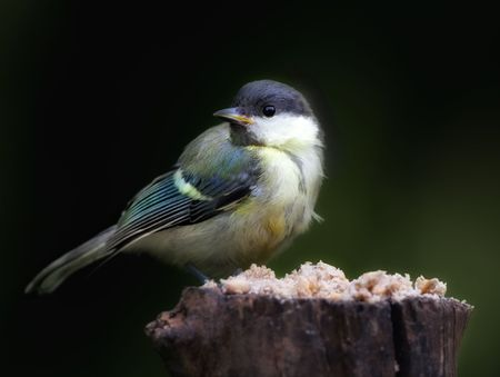 The Great Tit Stock Photo - 5417135