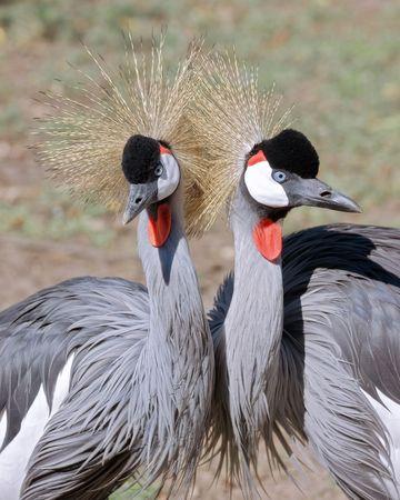 African Crane  photo