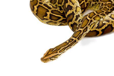 orange snake: Snake on white background Stock Photo