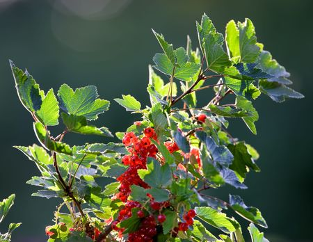 red currant: Beautiful red currant