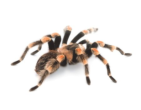 mygale: Red Knee Tarantula - bird manger spider Banque d'images
