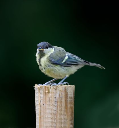 The Great Tit Stock Photo - 5606620