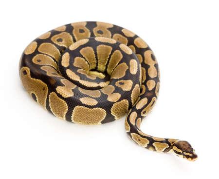 Natter: Snake-Foto